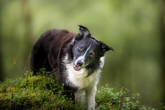 30/52  Mind Games (JJFET) Tags: 30 52 weeks for dogs paddy border collie