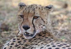Happy Caturday! (AnyMotion) Tags: cheetah gepard acinonyxjubatus cat cats katzen katze portrait porträt 2015 anymotion serengetinationalpark tanzania tansania africa afrika travel reisen animal animals tiere nature natur wildlife 7d2 canoneos7dmarkii portraitaufnahmen ngc npc