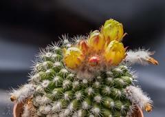 Parodia mutabilis 27-7-19 (Josef17) Tags: parodiamutabilis kaktus kakteen blüten