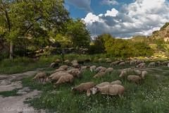 Rebaño de Oveja Montesina- Sierra Mágina (Jaén) (Lourdes S.C.) Tags: rebaño ovejas campo pasto cielo nubes