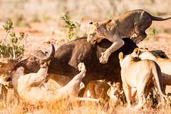 You have to fight to survive ... (aexl21) Tags: wildlife wildlifephotography buffalo lion nature nationalgeographic naturephotography africa kenya animals animalphotography