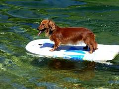 Surfing dog ! :-) (ursula.valtiner) Tags: hund dog schwimmbrett swimmingboard wasser water surfen surf see lake altausseersee lakealtaussee salzkammergut steiermark styria österreich autriche austria