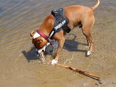 Oxwich (davidmcnuh) Tags: wales swansea gower oxwich beach water river sea coast dog rocco stick
