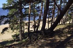 Saulrieta taka (olaf_alien) Tags: latvia olafalien olaf alien saulkrasti wood forest sea summer landscape nature sand beach saulrieta taka afs dx nikkor 1224mm f4 nikon d3200 roots pine