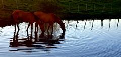 No espelho das aguadas (Eduardo Amorim) Tags: cavalos caballos horses chevaux cavalli pferde caballo horse cheval cavallo pferd cavalo cavall tropilla tropilha herd tropillas tropilhas 馬 حصان 马 лошадь crioulo criollo crioulos criollos cavalocrioulo cavaloscrioulos caballocriollo caballoscriollos pôrdosol poente entardecer poniente atardecer sunset tramonto sonnenuntergang coucherdesoleil crepúsculo anoitecer pelotas costadoce riograndedosul brésil brasil sudamérica südamerika suramérica américadosul southamerica amériquedusud americameridionale américadelsur americadelsud brazil eduardoamorim barragem açude barrage dam damm aguada diga