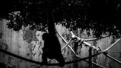 Black Monkey (Romain Didier) Tags: summer été light lumière ombre shadow white blanc black noir outside dehors vacation vacance art artistique abstrait abstract nikon d7500 nikkor rope corde arbre tree forêt forest dark sombre étrange stranger monkey singe nature natural amazing photography photographie best meilleure passerelle pont bridge footbridge
