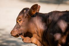 Watusi_kalf (Nick Dijkstra) Tags: congolesegiraffe dierentuin dierentuinberlijn forestgiraffe okapi okapiajohnstoni watussirind zooberlin