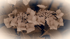 Hortensien (1elf12) Tags: hortensie flower blume mainau konstanz bodensee blumeninsel germany deutschland blossom blüte hydrangea