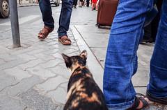 Ears and Toes (gergelytakacs) Tags: ae arabianpeninsula asia dawlatalʾimārātalʿarabīyyahalmuttaḥidah deira dubai dubaite dubay emirateofdubai emirates gr gulf middleeast persiangulf ricoh uae unitedarabemirates westernasia animal bluejeans bystander calle chroma cobblestone color colour compact ears feet feline fixedlens flâneur hue jeans kitten kitty leg legs lowangle meaow men pedestrian people perspective pet primelens puss pussy road rue sandals saturation sidewalk strada strasenfotografie street streetphotographer streetphotography streetphotgrapher streetphotgraphy toes traffic ulica urban urbanphoto urbanphotographer urbanphotography utcafotó walker walking улица רחוב دبي دولةالإماراتالعربيةالمتحدة ديرة