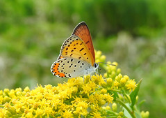 Bronze Copper - Lycaena hyllus (annette.allor) Tags: butterfly male dorsal ventral gossamer wings hairstreak bronze copper lycaenahyllus