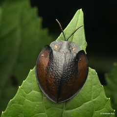 Tortoise Beetle, Cassidinae (In Memoriam: Ecuador Megadiverso) Tags: andreaskay beetle cassidinae chrysomelidae coleoptera ecuador leafbeetle tortoisebeetle