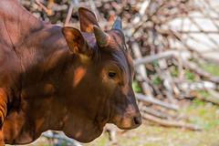 Watusi_kalf_01 (Nick Dijkstra) Tags: congolesegiraffe dierentuin dierentuinberlijn forestgiraffe okapi okapiajohnstoni watussirind zooberlin