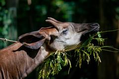 Okapi (Nick Dijkstra) Tags: congolesegiraffe dierentuin dierentuinberlijn forestgiraffe okapi okapiajohnstoni zooberlin