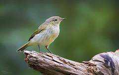 Willow Warbler (Paula Darwinkel) Tags: willowwarbler warbler bird birds birding animal wildlife nature birdphotography forest dutchwildlife