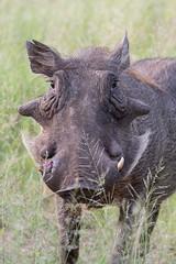 Warthog (dunderdan77) Tags: warthog animal tusk wildlife nature south africa mpumalanga kruger national park nikon tamron d500 safari outdoor