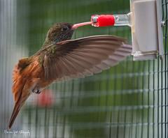BVG_3611 (Borreltje.com) Tags: animals zoo nikon someren kleincostarica hummingbird nectar hummingbirds kolibrie