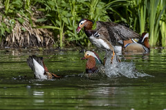 mandarin duck (madziulka_a) Tags: mandarinduck poland d850 nikkor 200500mm wildlife nature duck photography fight nikon