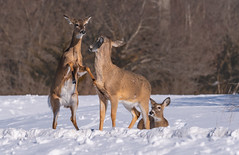 Confrontation... (ragtops2000) Tags: deer whitetailed cold snow confrontation exciting nature wild light detail action bystander innocent does females