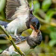 Adult Swallow Feeding Juvenile (www.facebook.com/PaulSmithWildlife) Tags: wildlife nature birds skomerisland wales springwatch bbcspringwatch