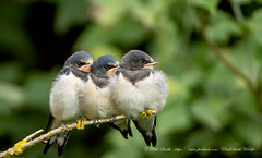Juvenile Swallows (www.facebook.com/PaulSmithWildlife) Tags: wildlife nature birds skomerisland wales springwatch bbcspringwatch