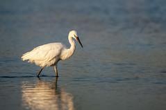 _DSC3295 (Joe Meyer) Tags: santarosaisland navarre florida whitemorph reddishegret shorebirds birds nature wildlife