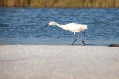 _DSC3322 (Joe Meyer) Tags: santarosaisland navarre florida whitemorph reddishegret shorebirds birds nature wildlife
