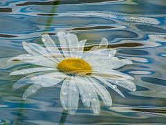 Playful daisy. (Omygodtom) Tags: abstract art algorithm doubleexposed outside usgs nature nikkor d7100 dof bokeh raindrop water