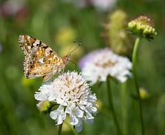 Butterfly (LuckyMeyer) Tags: lady painted schmetterling blüte fleur flower light sun insekt butterfly wings proboscis