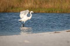 _DSC3325 (Joe Meyer) Tags: santarosaisland navarre florida whitemorph reddishegret shorebirds birds nature wildlife