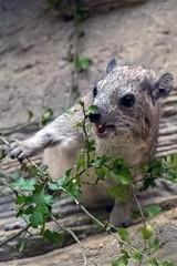 Arabian Rock Hyrax (nickym6274) Tags: cotswoldwildlifepark burford cotswold oxfordshire uk animal wildlife arabianrockhyrax hyrax arabian