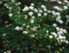 Velvia215 (gentooruwest) Tags: velvia rvp 100 pentax 67 6x7 film analog nature landscapes flowers