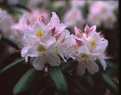 Velvia208 (gentooruwest) Tags: velvia rvp 100 pentax 67 6x7 film analog nature landscapes flowers