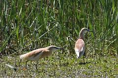 crabier chevelu / Ardeola ralloides  19D_3478 (Bernard Fabbro) Tags: ardeola ralloides crabier chevelu squacco heron oiseau bird