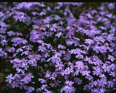 Velvia209 (gentooruwest) Tags: velvia rvp 100 pentax 67 6x7 film analog nature landscapes flowers