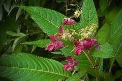 Balsamine de l'Himalaya (impatiens glandulifera) (pierre.pruvot2) Tags: france pasdecalais maraisdeguînes chemindestêtards végétaux fleurs flowers panasonic olympus60mmmacro lumixg9