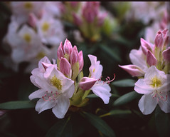 Velvia216 (gentooruwest) Tags: velvia rvp 100 pentax 67 6x7 film analog nature landscapes flowers