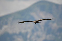 black kite (Timdez1) Tags: nature birds black kites nikon animals d500 swiss sigma 150600mm alps birdofprey