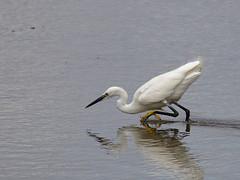 Little Egret (stephen.reynolds) Tags: liitle egret rspb blacktoft sands humber white water bird hunting yellow feet