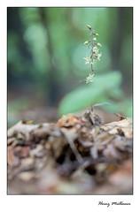 Epipactis purpurata (Julesorchids) Tags: epipactis ophrys goodyera orchid traunsteinera epipogium limodorum cypripedium herminium neotinea neottianthe cephalanthera anacamptis malaxis platanthera chamorchis calypso corallorhiza liparis nigritella steveniella himantoglossum dactylorhiza gymnigritella serapias neottia spiranthes orchis