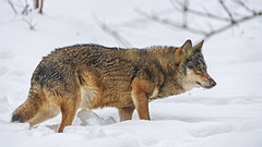 Profile of a wolf in the snow (Tambako the Jaguar) Tags: wolf canid canine dog standing posing profile portrait face snow winter cold siky park zoo crémines switzerland nikon d5
