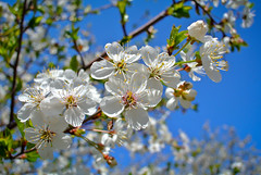Spring. (denkuznets81) Tags: floral flower spring bloom blossom beautiful blue nature tree garden sky springtime цветы весна природа сад небо донбасс торез