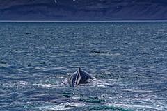 Iceland (Hemo Kerem) Tags: iceland island a7rm2 a7rii nikon200mmf4ai nikkor200mmf4ai ai200mmf4 ai4200 landscape travel roadtrip green water sea snow grass horses 200mm manualfocus mf nikon nikkor sony sonya7rm2 ilce7rm2 alpha lakitourswhalewatchingólafsvík whalewatchingólafsvík whalewatching ólafsvík olafsvik whale humpback orca killerwhale