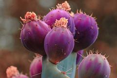 Fruit of a Prickly Pear Cactus (Stephen G Nelson) Tags: plant cactus fruit pricklypear desert botanicalgarden tucson arizona canoneosrebelsl1100d