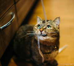 67/365 (Nazra Z.) Tags: munchkin cat female rope playing playful pet animal okayama japan raw vscofilm
