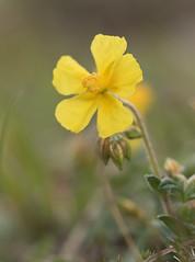 Common rock rose (beaconschris5050) Tags: nikond5600 tamronvc90mmf28macro