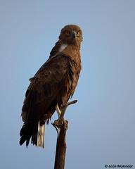 Brown Snake-Eagle (leendert3) Tags: leonmolenaar southafrica krugernationalpark wildlife naturereserve wildanimal wilderness nature naturalhabitat bird birdsofprey brownsnakeeagle ngc npc coth5