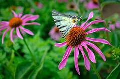 Butterfly. (denkuznets81) Tags: flower floral blossom bloom butterfly garden green summer nature macro цветы бабочка природа макро