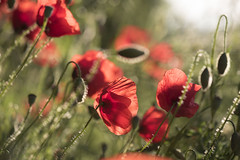 Coup de soleil ** (Titole) Tags: poppies titole nicolefaton wildflowers buds backlit friendlychallenges thechallengefactory unanimouswinner