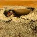 Cliff Swallow nest building