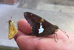 Skipper duo (cotinis) Tags: insect butterfly lepidoptera hesperidae pyrginae epargyreus epargyreusclarus silverspottedskipper hesperiinae hylephila hylephilaphyleus fieryskipper northcarolina piedmont bmna nc july inaturalist